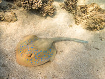 Blue Spotted stingray. Royalty Free Stock Image