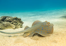 Blue Spotted stingray. Royalty Free Stock Photos