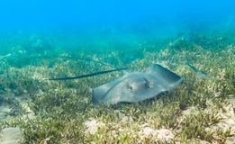 Blue Spotted stingray. Stock Images