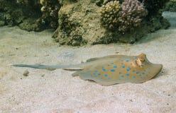 Blue Spotted stingray. Stock Photo