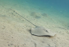 Blue Spotted stingray. Stock Photos