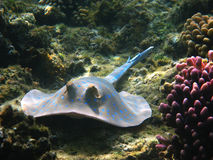 Blue-spotted stingray, Marsa Alam Stock Image