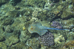 Blue-spotted stingray over coral reef Stock Image