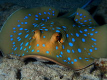 Blue spotted stingray Red Sea. Blue spotted stingray Hurghada Red Sea at night Stock Photography