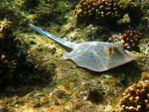 Blue-spotted stingray and reef Stock Photos