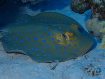 Blue spotted stingray Stock Images