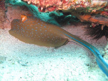 Blue spotted stingray. Resting in the sand Royalty Free Stock Photography
