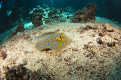 Blue-spotted stingray on the sea bed Royalty Free Stock Photos