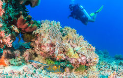 Blue Spotted Stingray under a coral pinnacle. Blue Spotted Stingray and SCUBA diver stock image