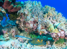 Blue Spotted Stingray under a coral pinnacle. Blue Spotted Stingray sheltering under a lump of coral on a tropical reef stock image