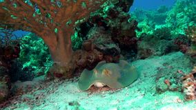 Blue spotted stingray under the coral in Red sea stock video footage