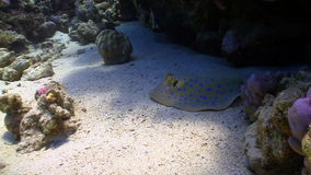 Blue Spotted stingray under the coral reef Royalty Free Stock Image