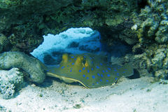 Blue-spotted Stingray Stock Images