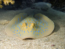 Blue spotted stingray watching you. A Blue spotted stingray in red sea, hidden under coral reef, watching the diver Royalty Free Stock Images