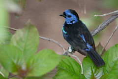 Blue Spotted Tanager Stock Photo