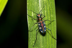 Blue Spotted Tiger Beetle on leaf Stock Photography