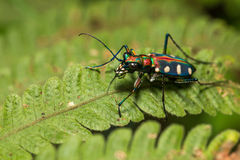 Blue Spotted Tiger Beetle on leaf Stock Photo