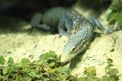 Blue spotted tree monitor Stock Image