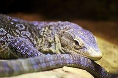 Blue-spotted tree monitor lizard (Varanus macraei) Royalty Free Stock Photography