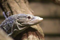 Blue-spotted tree monitor lizard (Varanus macraei) Stock Photo
