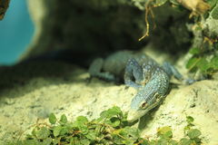 Blue-spotted tree monitor Stock Photography