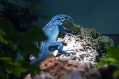 Blue-spotted tree monitor (Varanus macraei) Stock Image