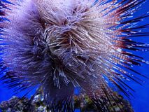 Blue Spotted Urchin Stock Photo