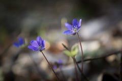 Blue sprigtime liverworts flower (hepatica nobilis) Stock Images