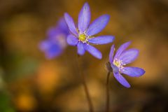 Blue sprigtime liverworts flower (hepatica nobilis). Beautiful blue springtime liverworts (hepatica nobilis) photographed in spring polish forest Royalty Free Stock Photos