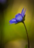 Blue sprigtime liverworts flower (hepatica nobilis). Beautiful blue springtime liverworts (hepatica nobilis) photographed in spring polish forest Stock Photo