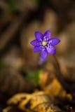 Blue sprigtime liverworts flower (hepatica nobilis). Beautiful blue springtime liverworts (hepatica nobilis) photographed in spring polish forest Stock Images