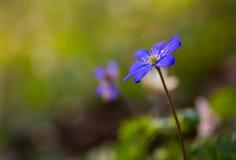 Blue sprigtime liverworts flower (hepatica nobilis). Beautiful blue springtime liverworts (hepatica nobilis) photographed in spring polish forest Royalty Free Stock Image