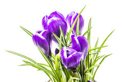 Blue spring crocus flowers. On a white background in studio royalty free stock image