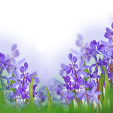 Blue spring crocuses flower Royalty Free Stock Photos
