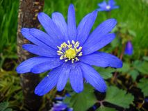 Blue spring flower Anemona Royalty Free Stock Photo