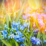 Blue spring flower Royalty Free Stock Photos