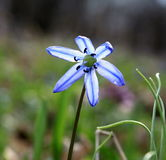 Blue spring flower closeup on natural background in backlit Stock Image