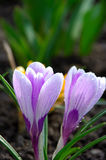 Blue Spring Flower Crocus Iridaceae Close-up Royalty Free Stock Photography