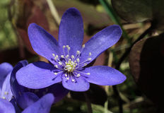 Blue spring flower hepatica Stock Images