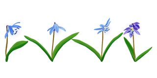 Blue spring flower Squill, scylla. Set of vector blue spring flowers Squill, scylla. Elements for creating your design Stock Photos