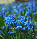 Blue spring flowers. Close up of blue spring flowers stock image