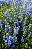 Blue spring flowers Royalty Free Stock Photos