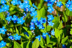 Blue spring flowers. Bright blue flowers named Blue-eyed-Mary in flowerbed in spring Stock Photo