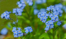 Blue spring flowers Royalty Free Stock Photography