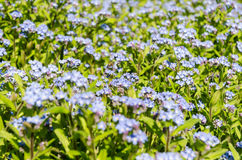 Blue Spring Flowers Royalty Free Stock Image
