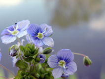 Blue spring flowers branch Stock Images