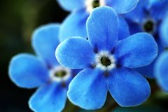 Blue spring flowers so close Royalty Free Stock Photo