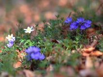 Blue Spring Flowers Stock Photos