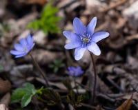 Blue spring flowers in full bloom royalty free stock image