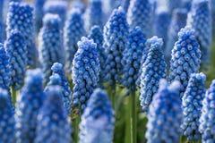 Blue spring flowers grape hyacinth. Royalty Free Stock Image